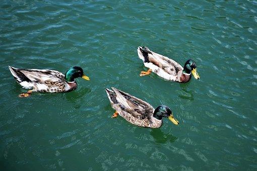 Ducks, Birds, Pond, Lake, Water, Wildlife, Lakes