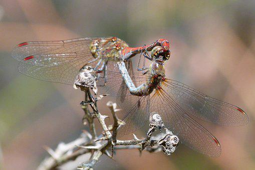 Dragonflies, Reproduction, Copulation