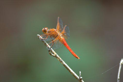 Dragonfly, Fauna, Nature