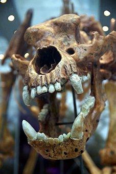 Skull, Teeth, Fangs, Predator, Skeleton, The Bear