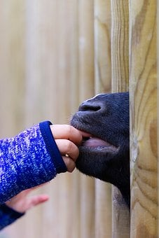 Goat, Feeding, Feed, Child, Hand, Child's Hand, Sweet