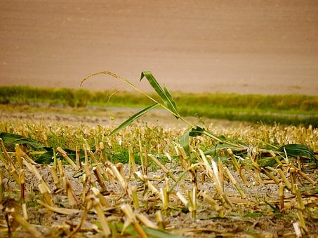 Cornfield, Autumn, Corn, Harvested, Arable, Harvest