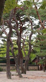 Pine, Tree, Pinetree, Pine Tree, Nature, Natural, Korea