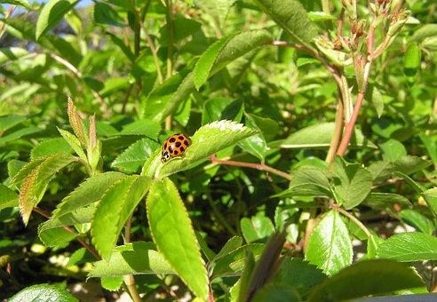 Ladybird, Gathering Pollen, Garden