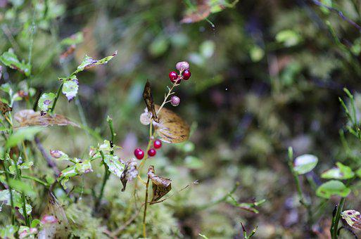 Lingon, Berry, Forest, Nature, Autumn, Red Berries