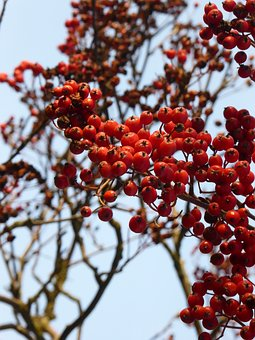 Autumn, Rowanberries, Bush, Nature, Red, Wild Berries