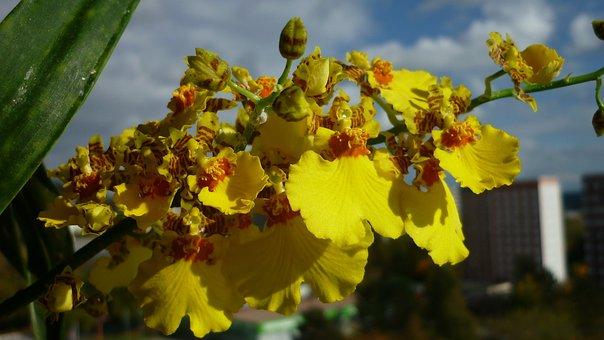 Oncidium, Flower, Orchid, Length, Yellow
