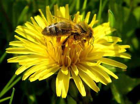Insect, Blossom, Bloom, Flower, Honey Bee, Pollen