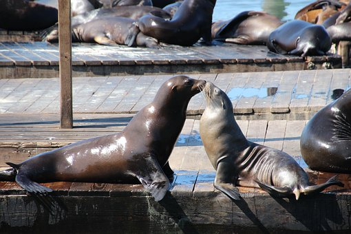 Sea Lion, Seals, Seal, Kiss, Pier, Animals, Nature