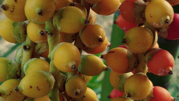 Areca, Betel, Catechu, Palm, Nuts, Fruit, Tropical