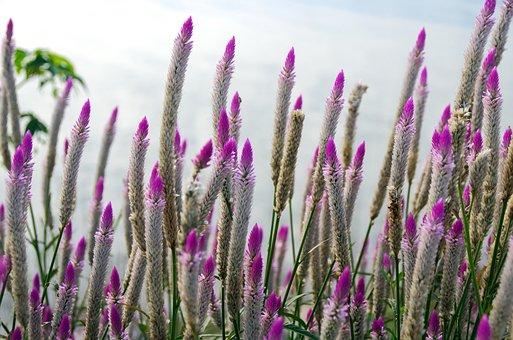Laos, Pink Flowers, Erected, Bouquets, Wild, Flora