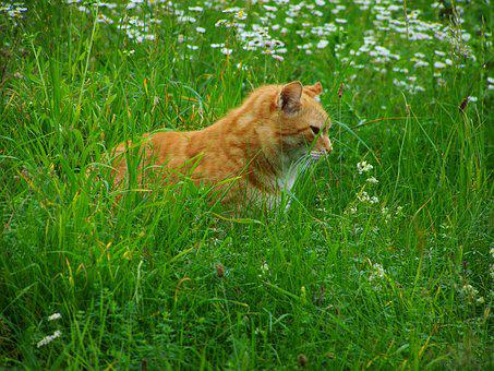 Cat, Red Tabby, Pets