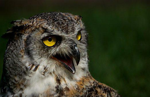 Eagle Owl, Owl, Bird, Bird Of Prey, Feather, Plumage