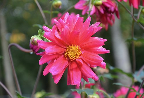 Pink Flower, Button Flower, Green Leaves, Flower, Pink