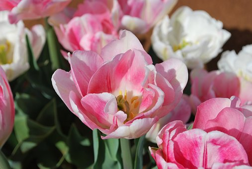 Tulip, Pink, Pretty, Floral, Spring, Flower, Blossom