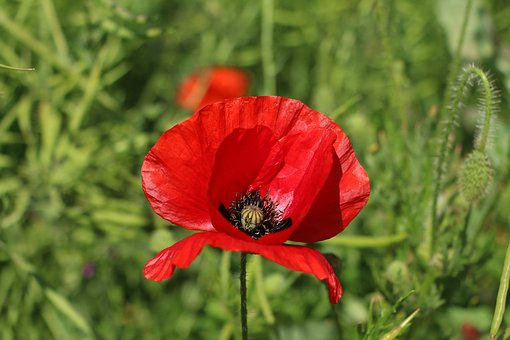 Poppy, Flower, Red, Wildflower, Springtime, Flowering