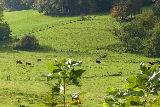 Meadow, Cows, Pasture, Graze, Agriculture