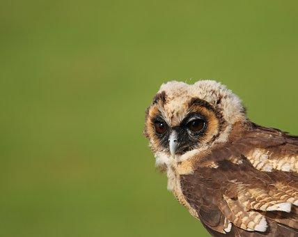 Owl, Little Brown Owl, Juvenile Owl, Bird, Nature