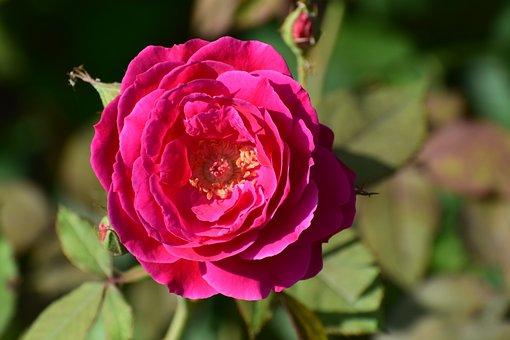 Flower, Rose, Nature, Floral, Blossom, Love, Petal
