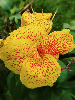 Canna Lily, Yellow Flower, Spotted, Petal, Cultivar