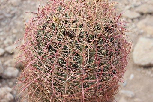 Cactus, Plant, Desert, Nature, Summer, Cacti, Flora