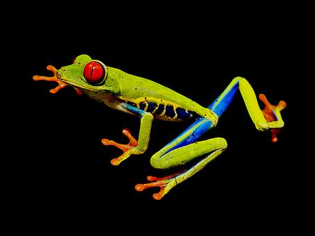 Red-eye Frog, Red-eyed Tree Frog, Tree Frog, Frog