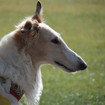 Dog, Pet, Borzoi, Russian Wolfhound, Animal, White