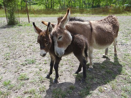 Donkeys, Us, American
