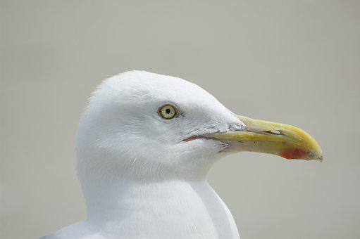 Gull, Animal, Bird, Seabird, White Seagull