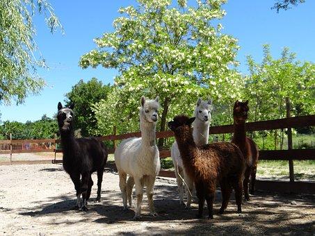 Alpaca, Family, Wool