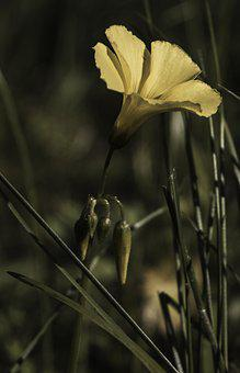 Flower, Sourgrass, Blossom, Yellow, Foraging, Green