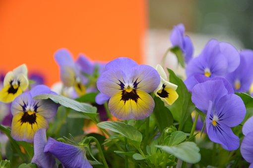 Flowers, Mini Thoughts, Yellow, Purple, Flower Garden