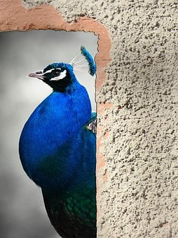 Peacock, Bird, Animal, Nature, Feather, Bright, Blue