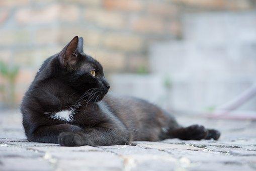 Domestic Cat, Black Cat, Kitten, Cat, Pets, Black Puss