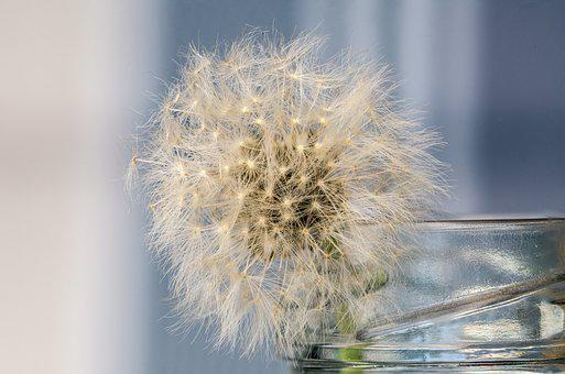 Still Life, Dandelion, Structure, Nature, Close, Plant