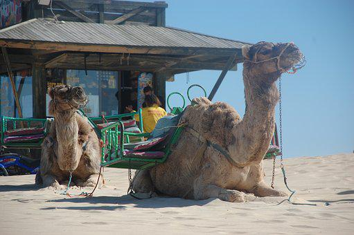 Camels, Sand, Travel, Nature, Animal, Tourism, Dune