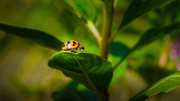 Lady Bug, Flora, Fauna, Macro, Bug, Insect, Beetle