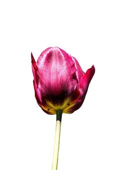 Tulip, Flower, Spring, Nature, Floral, White, Pink