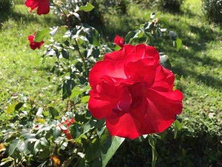 Rosa, Flower, Flowers, Red Flower, Red Rose