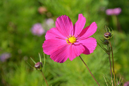 Flower, Pink Flower Fuschia, Nature, Garden, Flowers