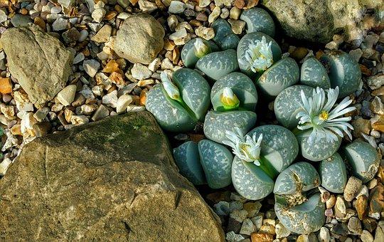 Lithops, Succulents, Rock, Tropical, Plants, Flowers