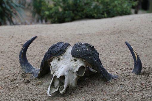 Skeleton, Bull, Head, Animal, Bone, Cow, Death, Dead