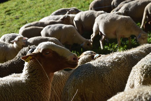 Sheep, Herd, Animal, Pasture, Livestock