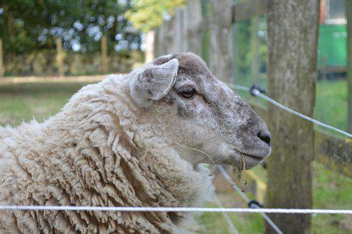 Sheep, Close, Farm, Wool, Animal, Pasture, Livestock