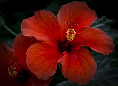 Hibiscus, Flower, Close, Stamens, Macro