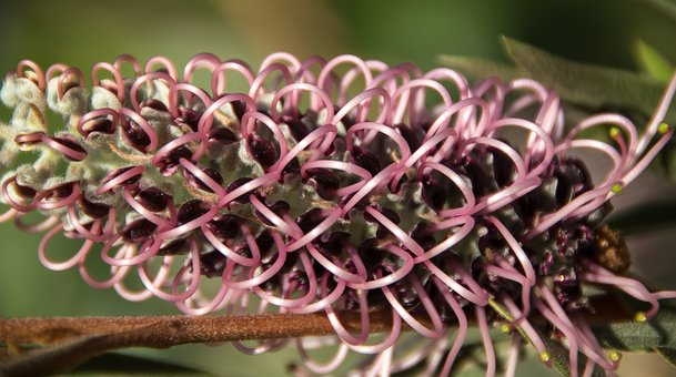 Grevillea, Flower, Australian, Native, Pink, Mauve