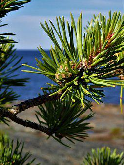 Pine, Cone, Merenran To