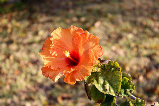 Hibiscus, Flower, Summer, Floral, Plant, Nature