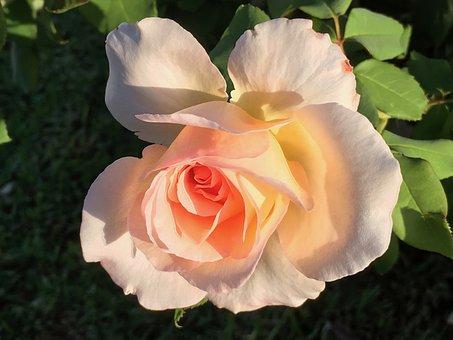 Rose, Peach Rose, Flower, Floral, Pink