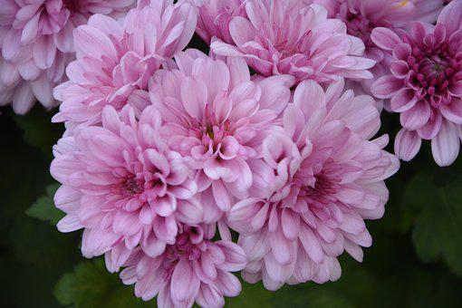 Flowers, Chrysanthemums Roses, Petals, Offer, Nature